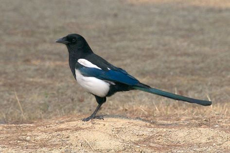 1280px-Korean_magpie_in_Daejeon_(side_profile)